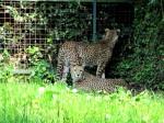 Gepard auf Suche nach Ausgang