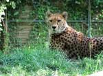 Gepard auf der Lauer