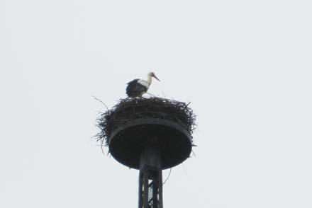 Der erste Storch in Ostfriesland - Diesmal in Detern