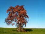 Birnbaum im Herbst